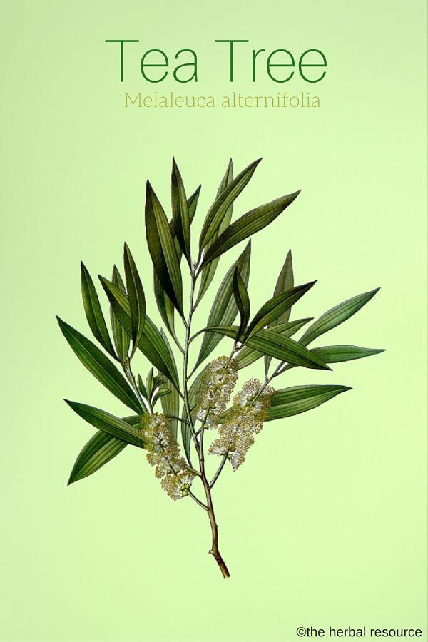 Tea Tree Oil: come e quando usare l'olio essenziale di melaleuca